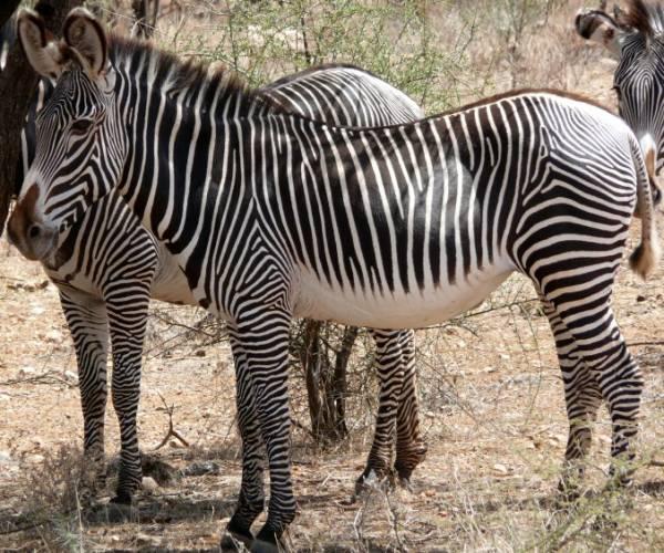 African Zebra - Grevy's Zebra (Equus grevyi)