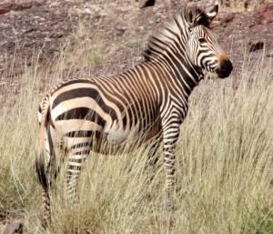 African Zebra -Mountain Zebra (Equus zebra)
