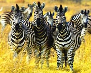 African Zebra - Plains Zebra (Equus quagaa)