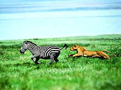 zebras running from predator - photo #12