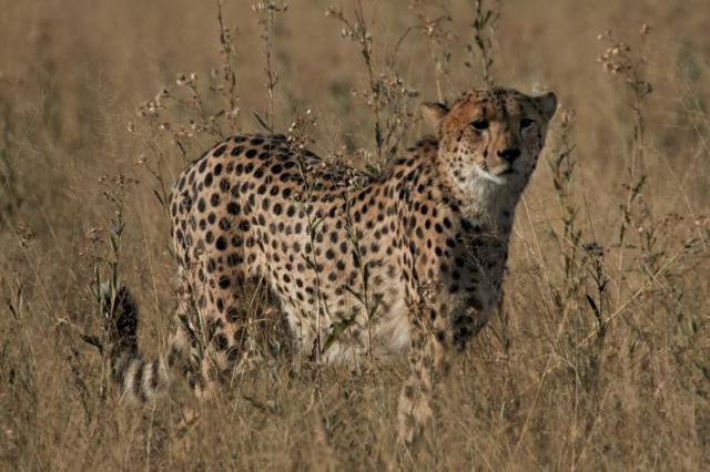 Cheetah S Natural Enemies